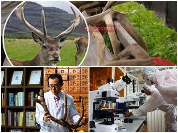 Những nghiên cứu nhung hươu trong Đông và Tây y phát hiện nhiều tác dụng quý