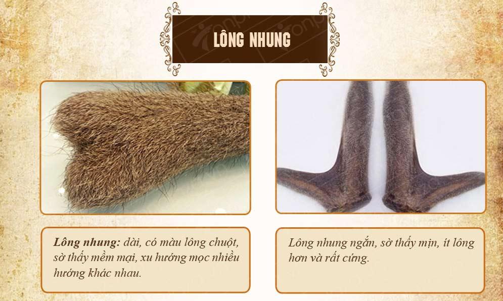 dựa vào lông nhung để phân biệt nhung hươu tươi thật giả