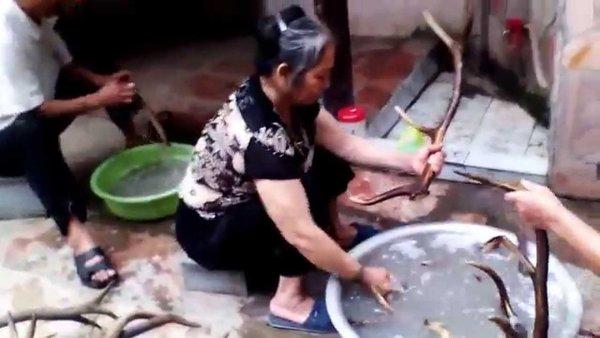 Chọn lọc và làm sạch sừng hươu trước khi nấu cao ban long