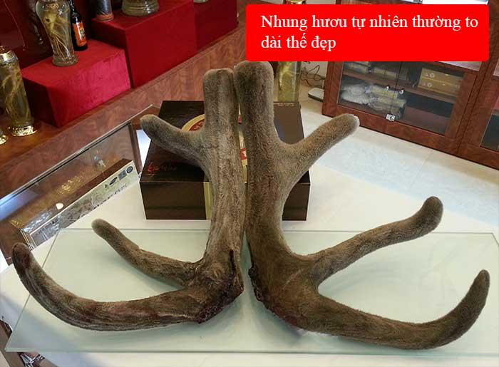 Lộc nhung hươu tươi Altai Sibiri Liên Bang Nga nguyên cặp loại to  NH010 3
