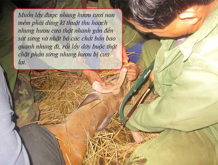 Nhung hươu tươi non mềm Hương Sơn chất lượng cao 2