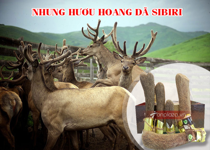 nhung-huou-tuoi-sibiri-NH009-1